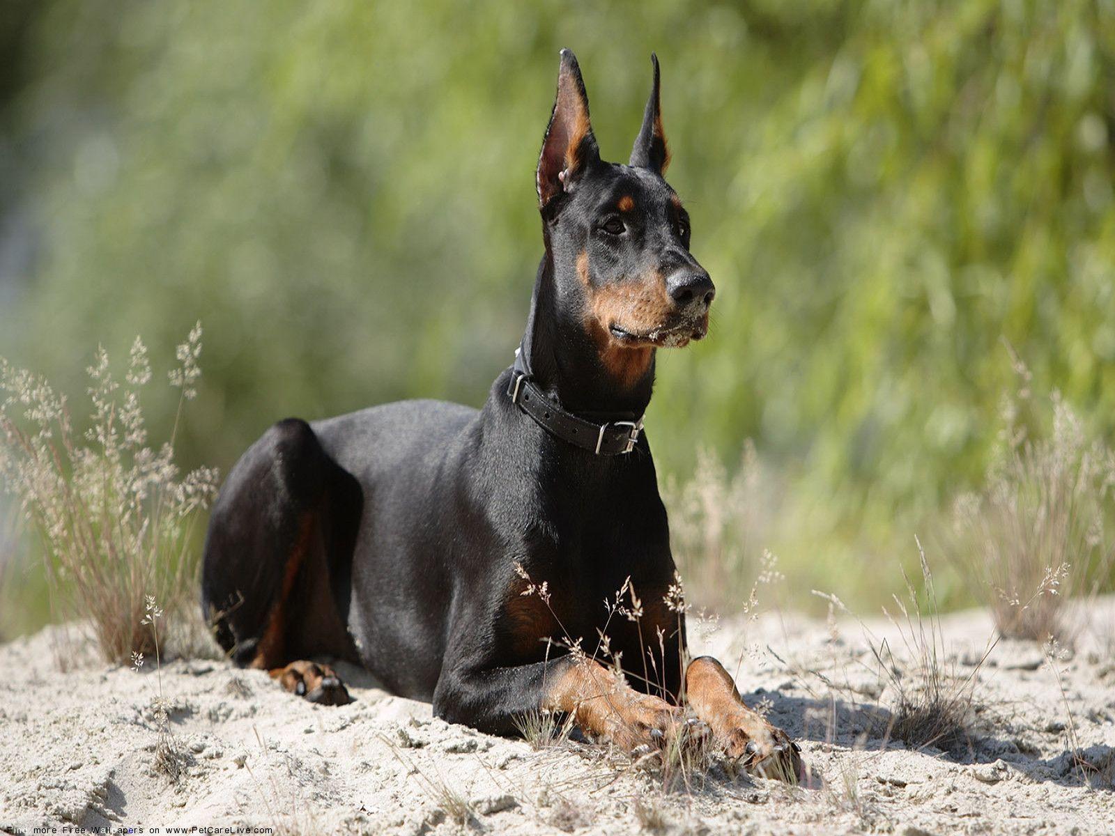Умные и сильные породы собак: какую выбрать